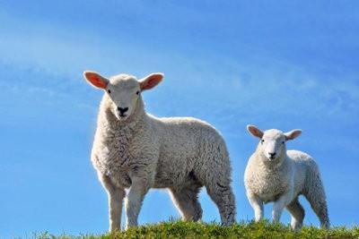 Minecraft: Non Sheep - que faire?
