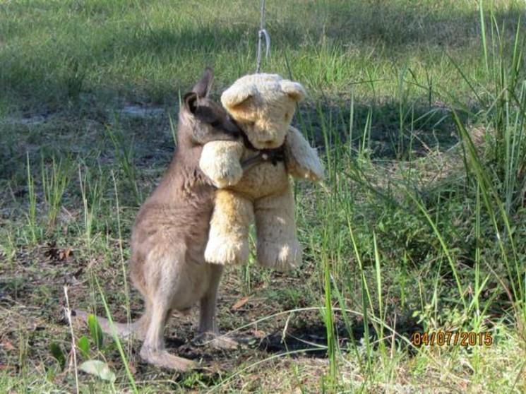 Cette Orphaned Kangourou a été pris Serrant un ours en peluche et OHMYGOSH SO CUTE