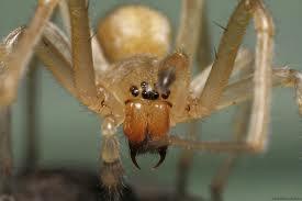 Top 10 des araignées les plus toxiques dans le monde