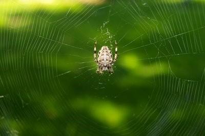 Araignées en Turquie - de sorte que vous reconnaissent araignées venimeuses