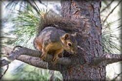 Écureuils - particularités du rongeur clairement expliqués