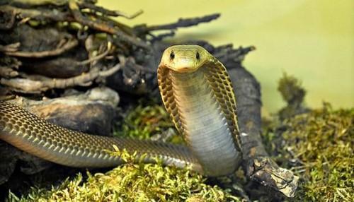 Top 10 des serpents les plus dangereux au monde