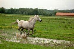 Fièvre chez les chevaux - que vous devriez être au courant