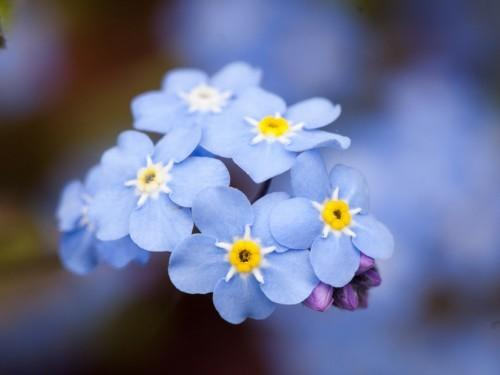 Bonne Forget-Me-Not Day!