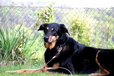Shepherd-Doberman mix - donc vous des charges de ce chien humainement
