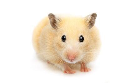 caisse de hamster ou de la cage?  - Comment garder votre hamster artgerecht