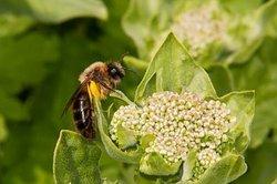 Que mangent les abeilles?