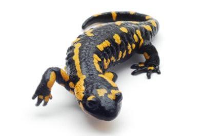 """""""Qu'est-ce que manger des salamandres?""""  - Ce que vous devriez considérer lors de l'attitude"""